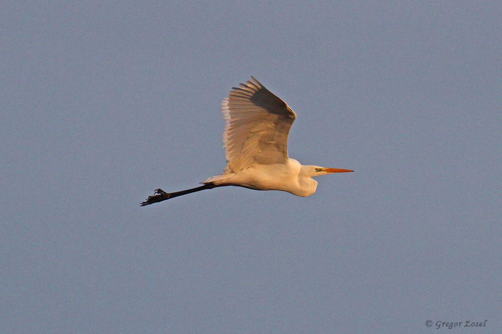 Nach Auflösung des Frühnebels zeigte sich an diesen Morgen ein strahlendblauer Himmel. Die Morgensonne dazu präsentierte die Vögel, wie hier den Silberreiher, im schönsten Licht.....am 27.12.18 Foto: Gregor Zosel