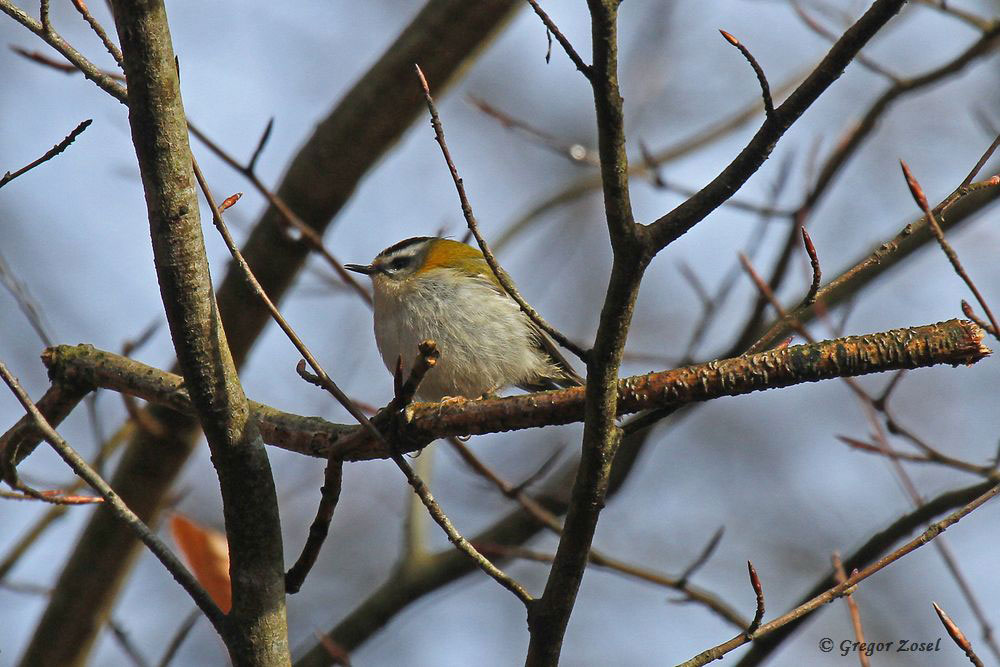 Singendes Sommergoldhähnchen......am 31.03.18 Foto: Gregor Zosel