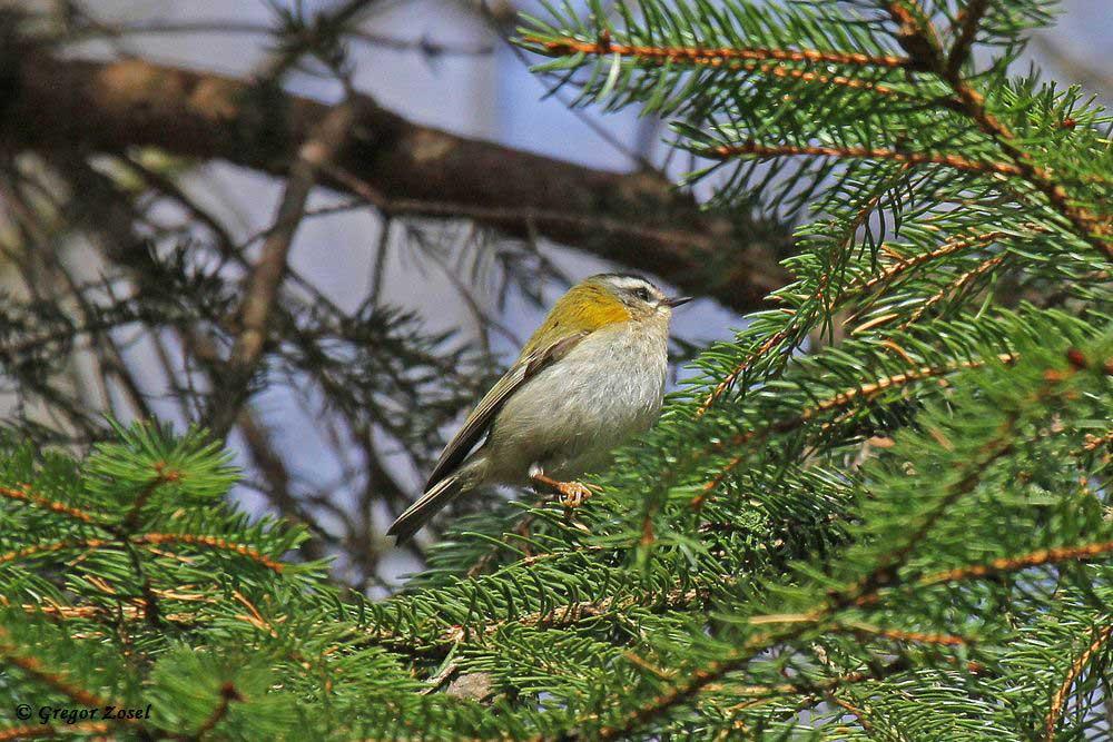 Meist in den Baumwipfeln versteckt, sind die Sommergoldhähnchen schwer zu fotografieren......am 31.04.18 Foto: Gregor Zosel