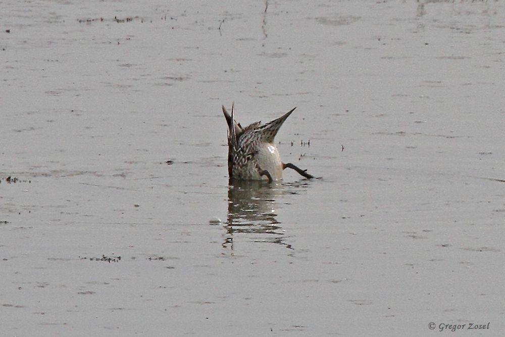 Dieser Schwanz, der aus dem Wasser schaut, gab der Spießente ihren Namen....am 09.04.18 Foto: Gregor Zosel