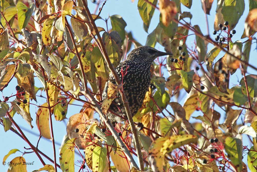 Stare suchen in den Hecken, neben einzelnen Rotdrosseln, Singdrosseln und Amseln, nach schmackhaften Beeren.....am 21.10.18 Foto: Gregor Zosel
