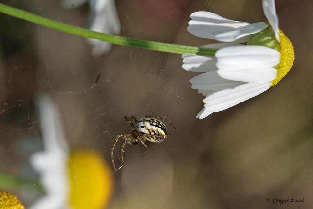 Auch unter den Spinnen haben wir wahre Schönheiten entdeckt, wie diese Streifenkreuzspinne.....am 26.05.18 Foto: Gregor Zosel