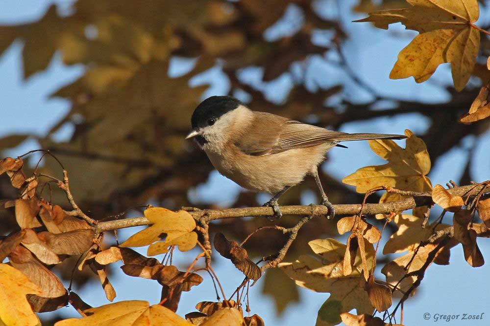 Sumpfmeise im Himmelmann Park.....am 15.11.18 Foto: Gregor Zosel