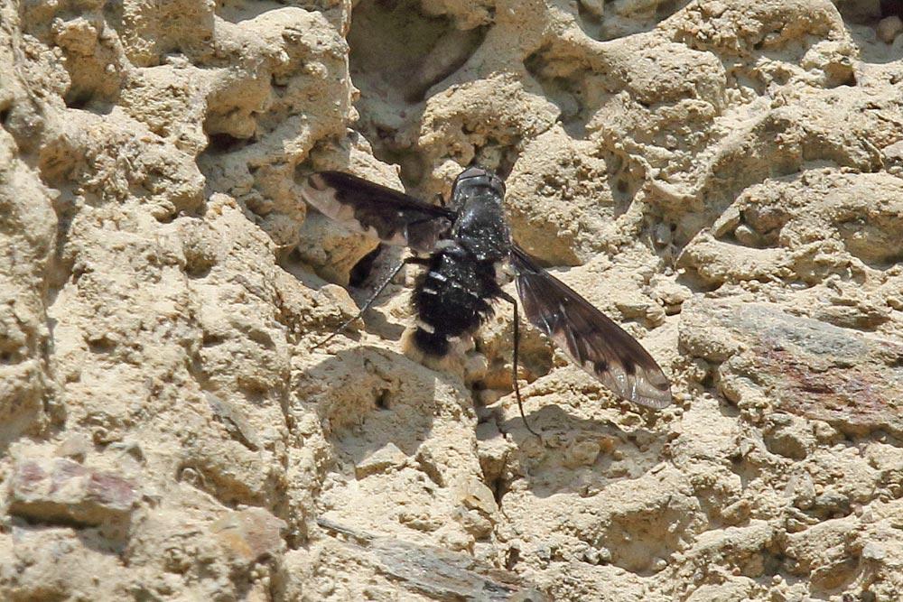 Der Trauerschweber parasitiert verschiedene Wildbienenarten, die ebenfalls in dieser Lehmwand ihre Bruthöhlen graben....am 26.05.18 Foto: Bernhard Glüer