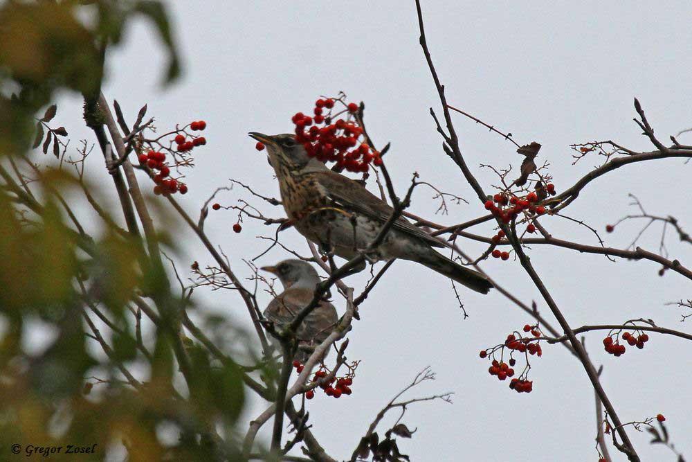 Die Vogelbeeren mussten die Stare aber mit den hier anwesenden Wacholderdrosseln teilen.....am 31.10.18 Foto: Gregor Zosel