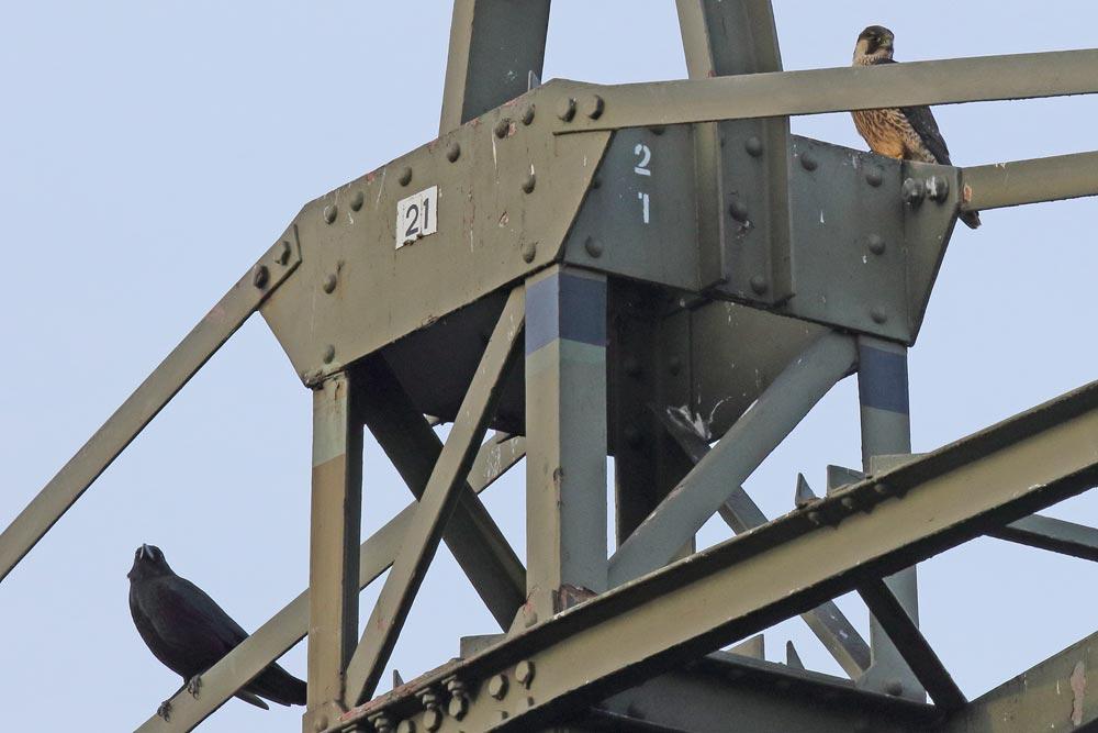 Die erkennbar längsgestreifte Brust kennzeichnet den kritsch von einer Rabenkrähe beäugten Wanderfalken (m) als diesjährigen Jungvogel (Frdbg.Frömern), 27.12.2018 Foto: Bernhard Glüer
