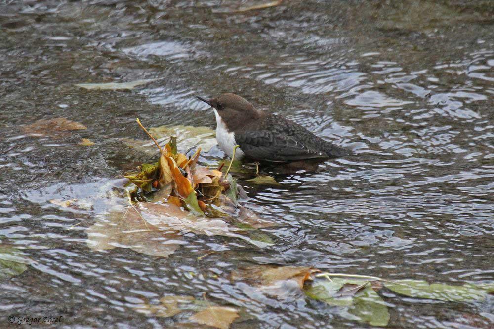 Wasseramsel in der Hönne.......am 08.11.18 Foto: Gregor Zosel