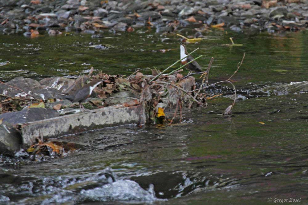 Wasseramselbalz.......am 08.11.18 Foto: Gregor Zosel