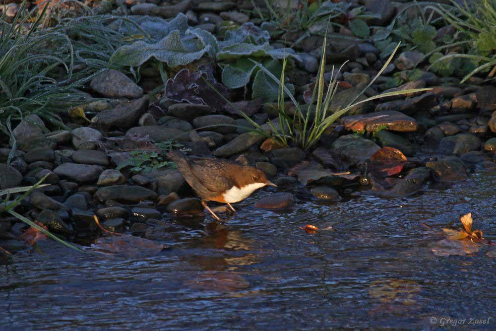 Wasseramsel im Licht der aufgehenden Sonne.....am 17.11.18 Foto: Gregor Zosel