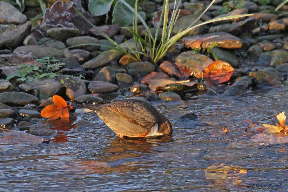 Wasseramsel sucht ihr Frühstück im eiskalten Wasser der Hönne.....am 17.11.18 Foto: Gregor Zosel