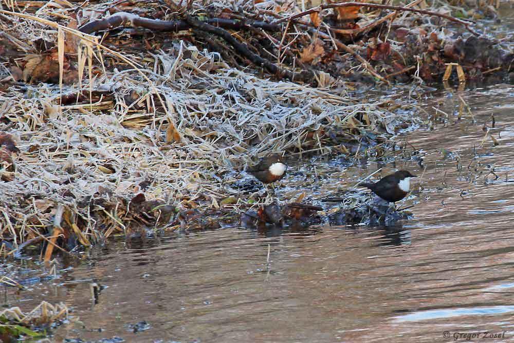 Wasseramselpaar an der winterlichen Hönnemündung.....am 28.12.18 Foto: Gregor Zosel