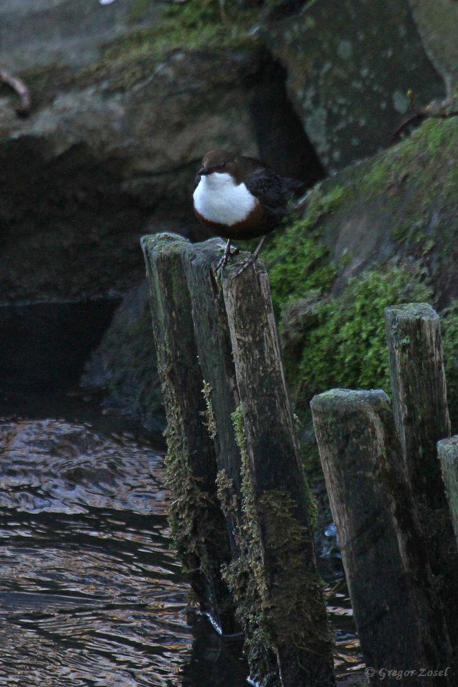 Der Wasseramselhahn auf einer seiner Singwarten.....am 28.12.18 Foto: Gregor Zosel