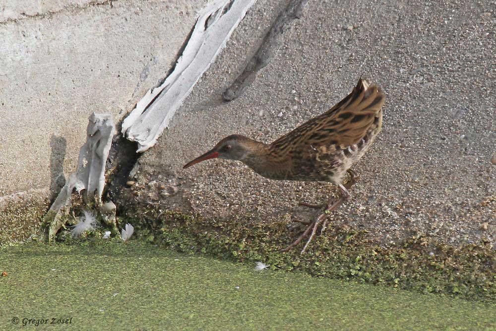 Wasserralle sucht am Ufer eines Filterbeckens nach Nahrung....am 23.08.18 Foto: Gregor Zosel