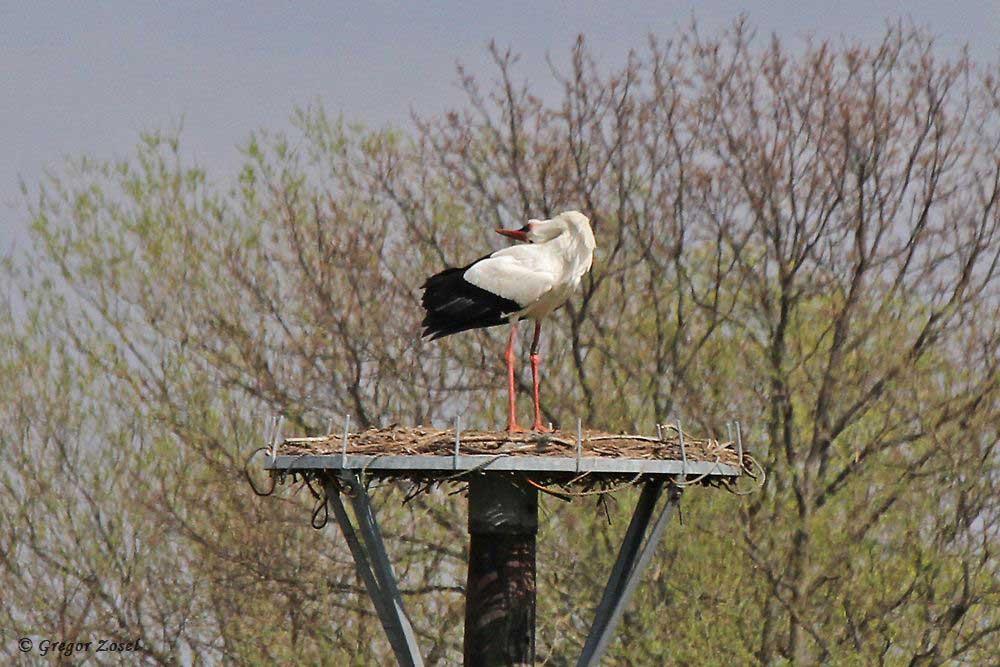 Ab und zu ein kurzer Besuch des Storchenhorstes, um eventuell vorbeifliegende Weißstörche durch lautes Klappern anzulocken.....am 11.04.18 Foto: Gregor Zosel