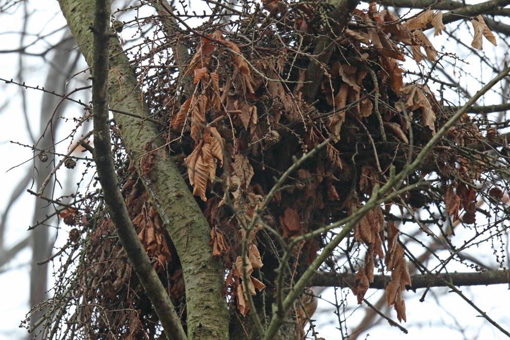 ... deutlich erkennt man auch im Unterbau belaubte Zweige (typisch für Wespenbussarde) - andere Greife kleiden bestenfalls die Horstmulde (oberseits) mit belaubten Zweigen aus, 25.11.2018 Foto: Bernhard Glüer