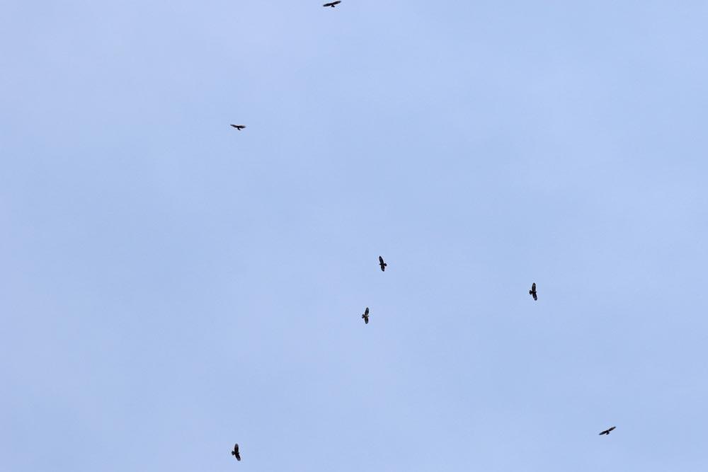 Wespenbussardwegzug hat begonnen - hier schrauben sich insgesamt 9 Vögel in einem Thermikschlauch in große Höhen (Frdbg.-Hohenheide) ..., 29.08.2018 Foto: Bernhard Glüer