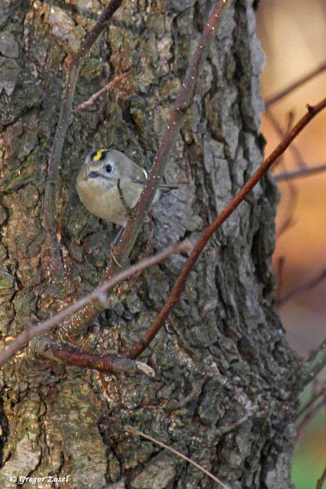 Sowohl im Himmelmann Park, als auch am Hönneufer und auch in der Streuobstwiese am Abtissenkamp konnte ich Wintergoldhähnchen beobachten.....am 15.11.18 Foto: Gregor Zosel