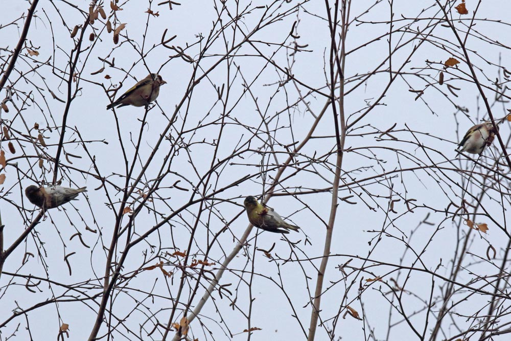 Nicht jeder Kleinvogel, der zur Zeit bei der Ernte von Birkensamen beobachtet wird, ist ein Birkenzeisig ... - hier sind 2 Distelfinken und 2 Erlenzeisige `am Buffet´..., 20.11.2018 Foto: Bernhard Glüer