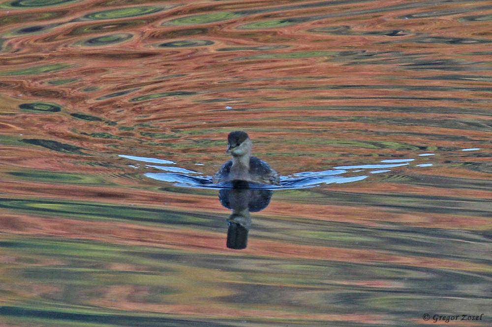 Die Hecken mit ihrem bunten Laub rund um die Schönungsteiche spiegeln sich im Wasser wieder und setzen die Wasservögel in ein besonderes Licht.....am 21.10.18 Foto: Gregor Zosel