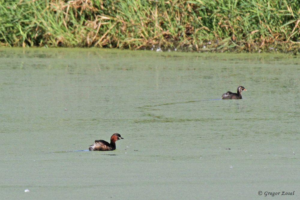 Zwergtaucher mit Jungvogel auf einem der Wasserflächen.......am 26.08.18 Foto: Gregor Zosel