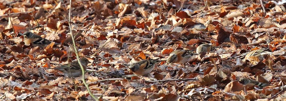 Perfekt getarnte Bergfinken - man muss genau hinsehen, um hier 7 Vögel zu finden, die im Laub nach Bucheckern suchen (Hemmerder Schelk), 19.01.2019 Foto: Bernhard Glüer