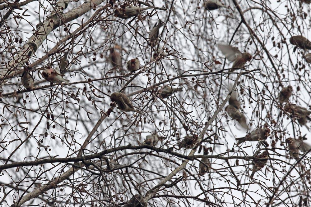 Birkenzeisige (Hemmerder Schelk) - technisch leider ein schlechtes Bild, das jedoch einen kleinen Teil des `Gewusels´ unzähliger Vögel bei der Samenernte zeigt ..., 12.01.2019 Foto: Bernhard Glüer