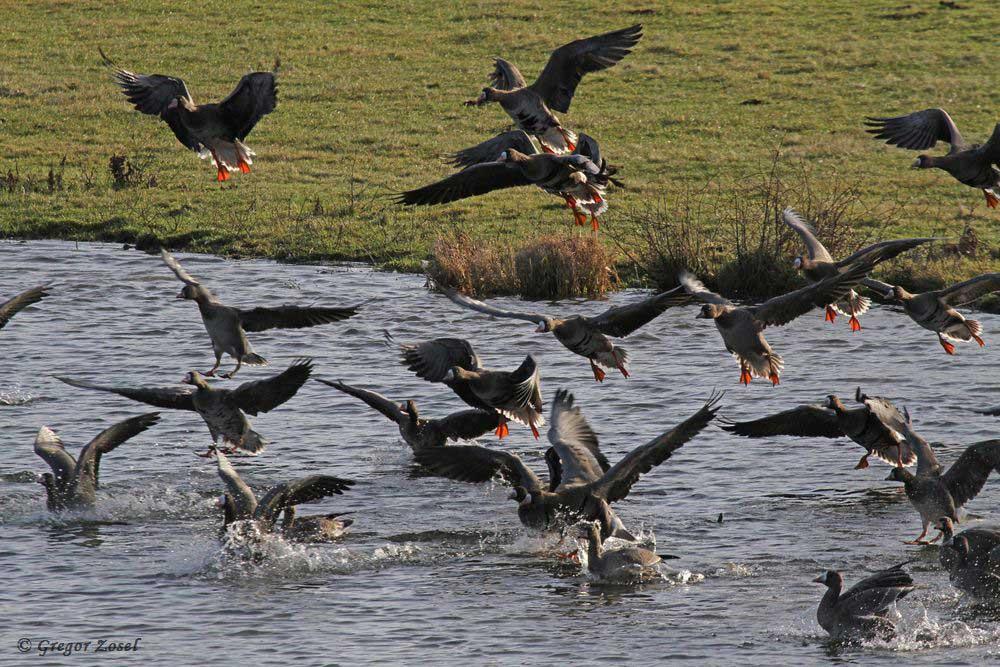 Als die Heckrinder sich auf ein paar Meter den Gänsen genähert hatten, wurde doch die Flucht zum nahen Gewässer ergriffen......am 02.01.19 Foto: Gregor Zosel
