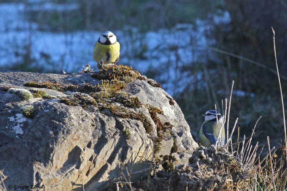 Aber es gab auch Bodentruppen bei den Blaumeisen, die im Moos auf den Steinen oder unter Bäumen nach Nahrung suchten....am 20.01.19 Foto: Gregor Zosel