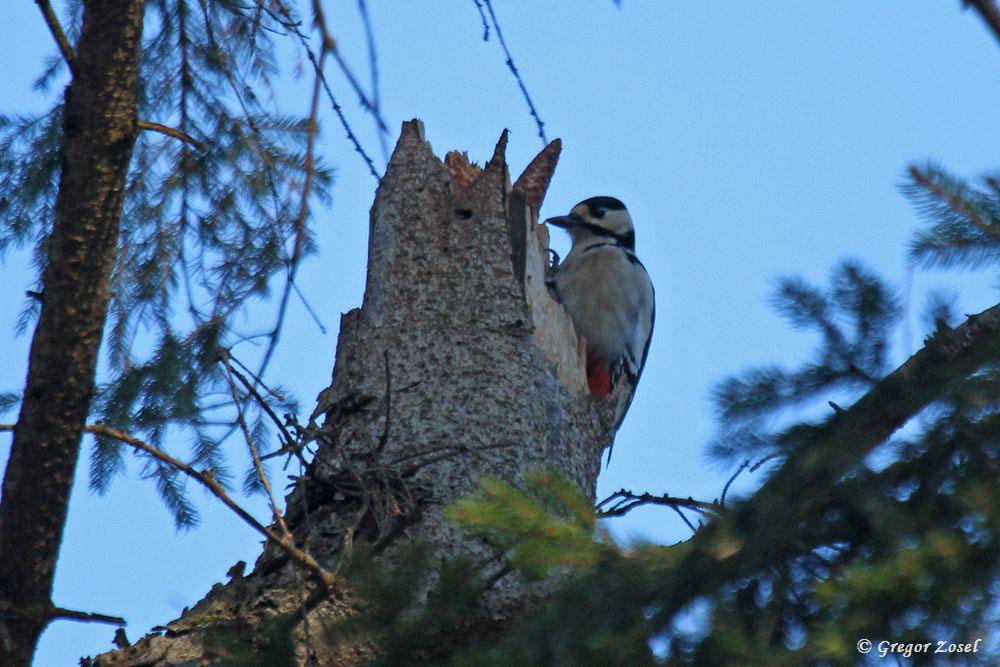 Während dieser Buntspecht diesen Baum mit Sturmschaden nach Insekten absucht, hämmern seine Artgenossen schon in den angrenzenden Wäldern um die Wette ....am 20.01.19 Foto: Gregor Zosel