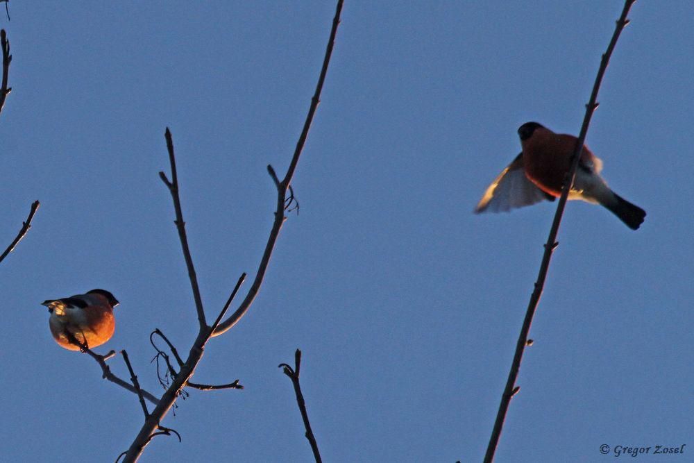 Erfreulich auch die große Anzahl an Dompfaffe, die ebenfalls die Baumkronen aufsuchten....am 20.01.19 Foto: Gregor Zosel