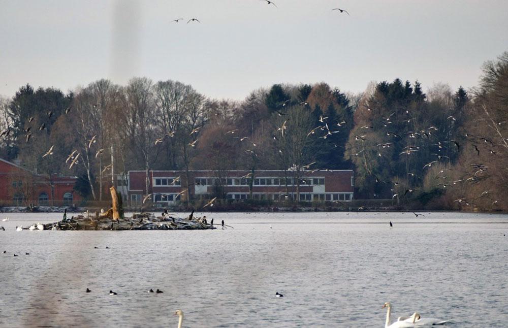 Gänse-Einflug am Stausee, Geiseckesee, 22.01.2019 Foto Hans Joachim Göbel