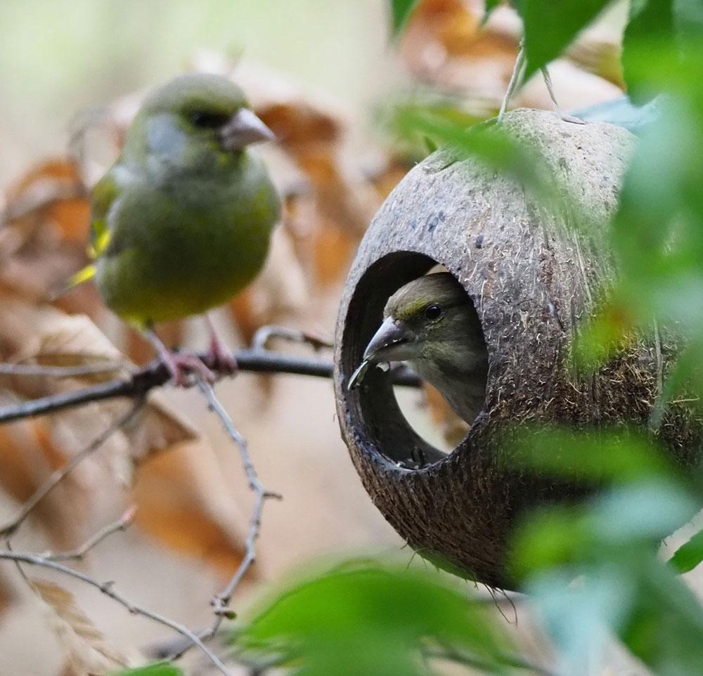 Grünfinken im eigenen Garten, Werne 03.01.2019 Foto: Horst R. Kraft