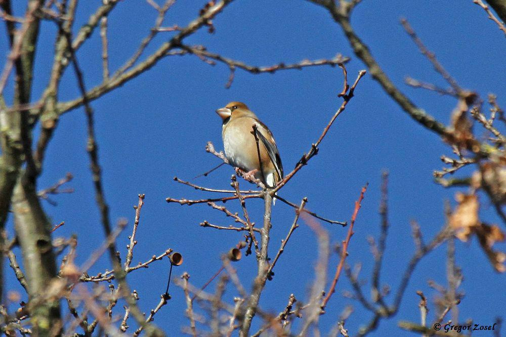 Vögel, wie dieser Kernbeißer, die ihre Nahrung meist in den Baumwipfeln suchen, störten sich nicht an dem heutigen Ansturm an Hunden mit ihren Besitzern, Joggern, Spaziergängern und Fahrradfahren....am 20.01.19 Foto: Gregor Zosel