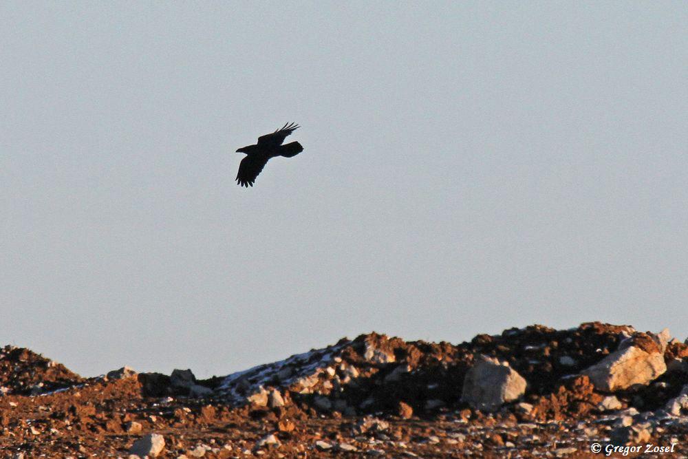....und immer wieder laut rufend eine Ehrenrunde über dem Steinbruch....am 20.01.19 Foto: Gregor Zosel
