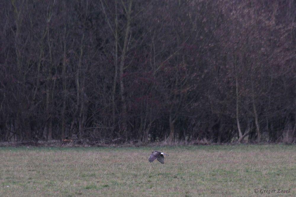 Aus dem Auto heraus gelang mir zumindest noch ein Belegfoto von der weiblichen Kornweihe im Hammer Wasserwerk......am 02.01.19 Foto: Gregor Zosel