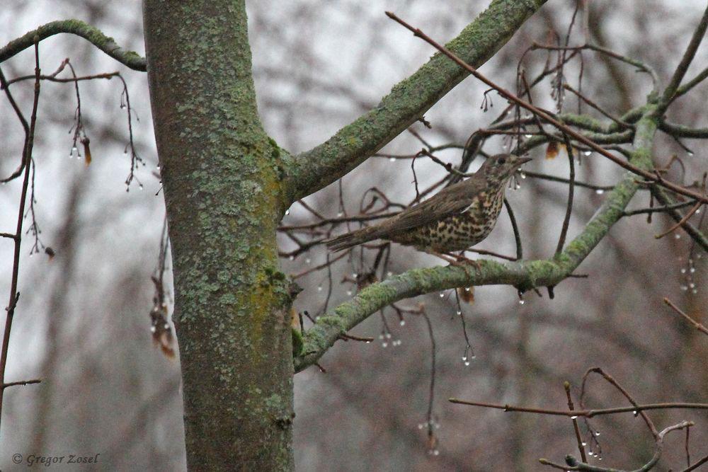Zwar verteidigte diese Misteldrossel ihr Revier hartnäckig gegen die anwesenden Amseln, aber bei dem Regenwetter war ihr nicht nach Singen zumute......am 06.01.19 Foto: Gregor Zosel