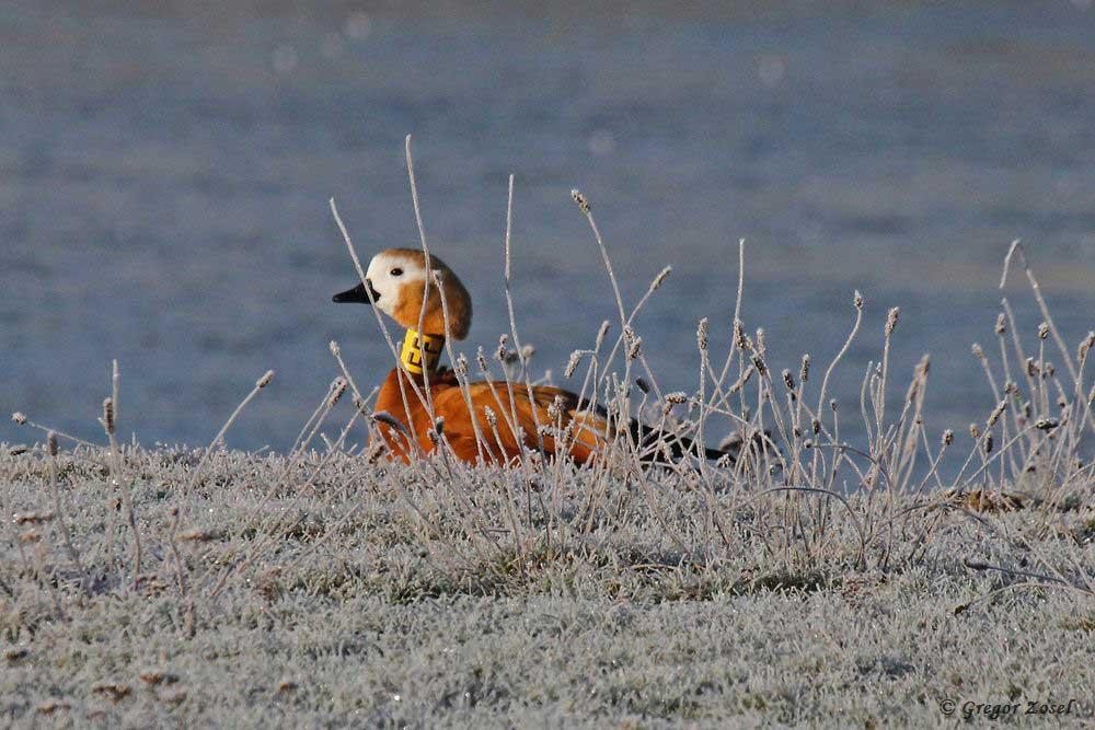 Da kann das Weibchen am Rand des Filterbeckens sich bis zum Frühstück noch energiesparend die Ruhe antun.....am 21.01.19 Foto: Gregor Zosel