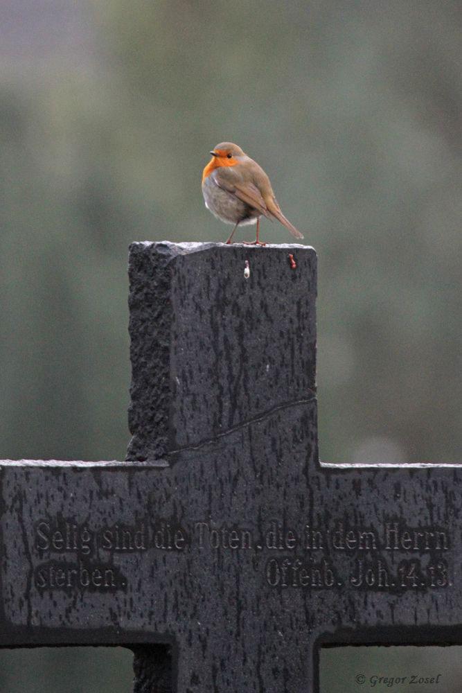 Auch auf Friedhöfen kann man schöne Vogelbeobachtungen machen. Hier ein Rotkehlchen auf ortstypischen Ansitz auf dem Alten Fröndenberger Friedhof......am 06.01.19 Foto: Gregor Zosel