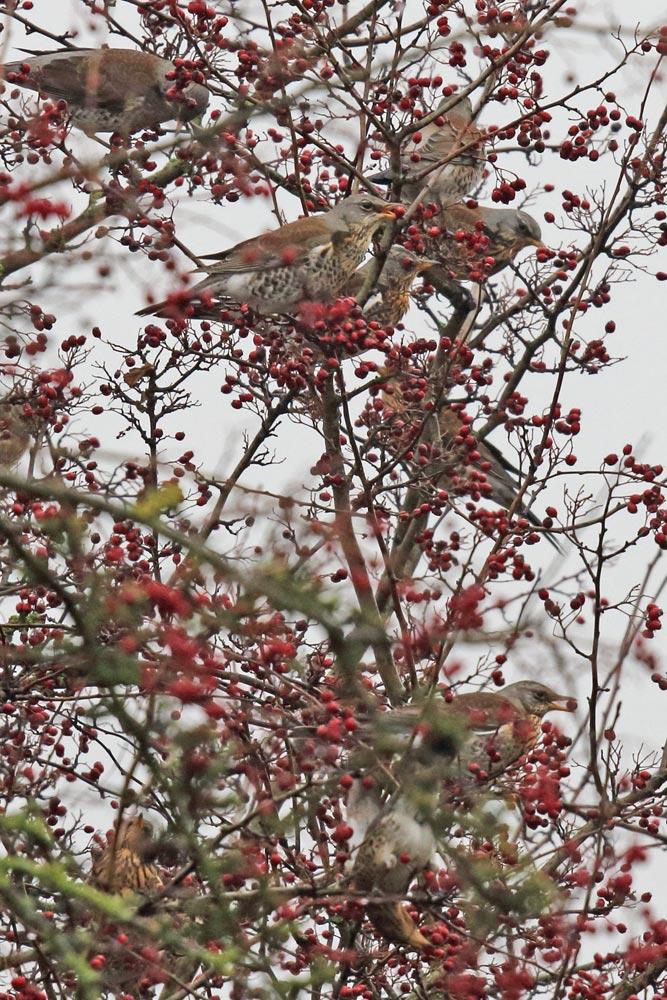 Wacholderdrosseln in den Hemmerder Wiesen an Beeren des Weißdorns, die normalerweise im neuen Jahr schon `abgeerntet´ sind, 04.01.2019 Foto: Bernhard Glüer