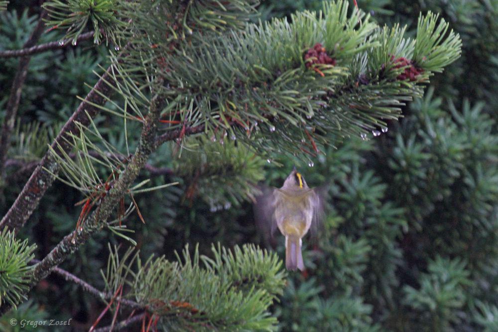 Im Schwirrflug wie ein Kolibri sucht dieses Wintergoldhähnchen zwischen den Nadeln der Gehölze nach kleinen Insekten und Spinnen......am 06.01.19 Foto: Gregor Zosel