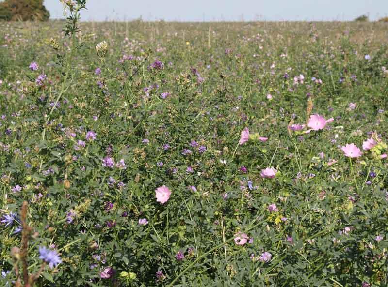 Blütenteppich mit vielen Schmetterlingen nahe Ahsewiesen / Kr. Soest, 26.09.09 Foto: Bernhard Glüer