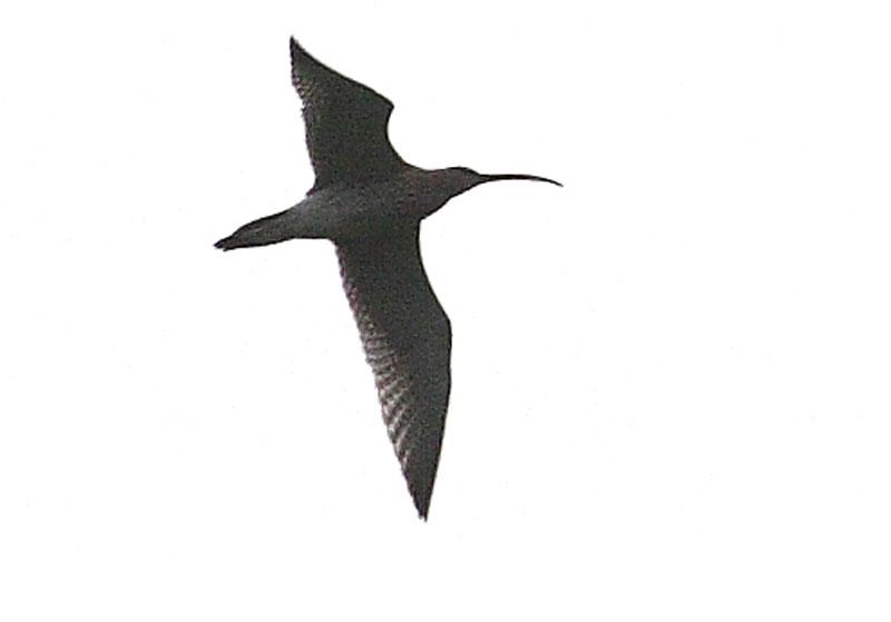 Großer Brachvogel Auf dem Hacheney / Westhemmerde überfliegend, am 16.11.08 Foto: Bernhard Glüer