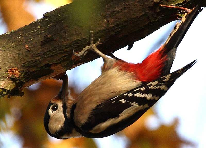 Akrobatik pur - mit dem Kopf abwärts hämmernder Buntspecht bei Westhemmerde am 08.11.08 Foto: Bernhard Glüer