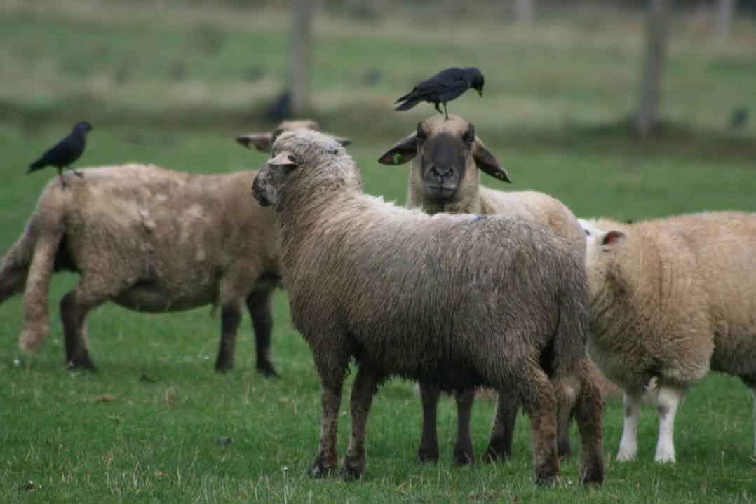 Schafreiher im Kreis Unna: Dohlen bei Hemmerde am 02.11.08 Fotos: Gregor Zosel