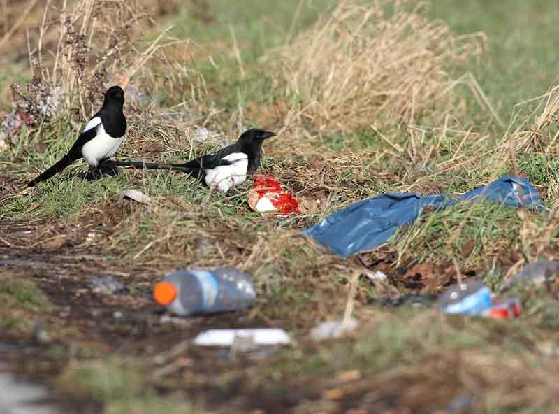 Nicht für jeden ist Müll einfach nur Müll... - Elstern bei Unna am 25.01.09 Foto: Bernhard Glüer