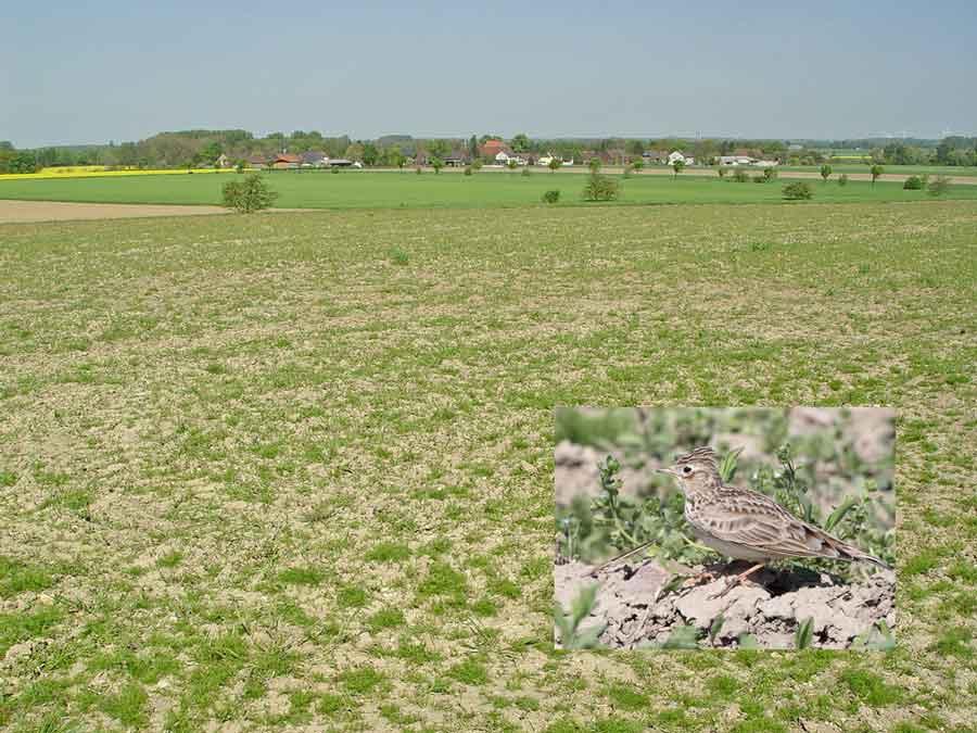 `Oase´ im Südosten von Unna-Westhemmerde mit Feldlerchen, Schafstelzen, Kiebitzen (kl. Foto: Feldlerche ebenda) am 25.04.09 Foto: Bernhard Glüer