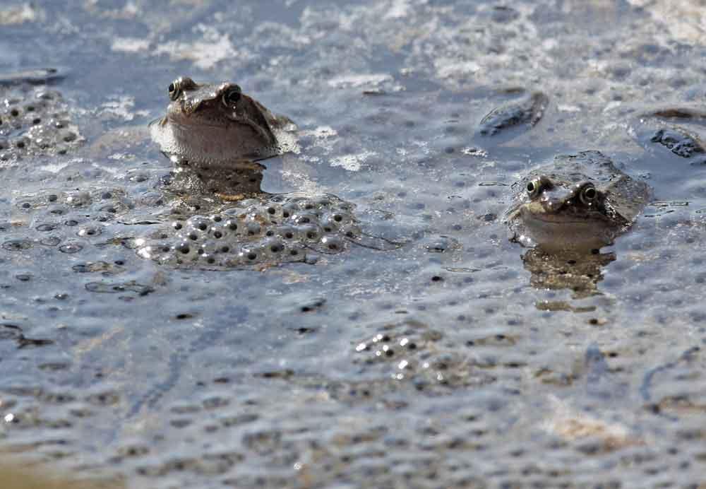 Grasfrosch- und Erdkrötenlaich im NSG Horster Mühle / Bönen-Flierich, 31.03.09 Foto: Bernhard Glüer