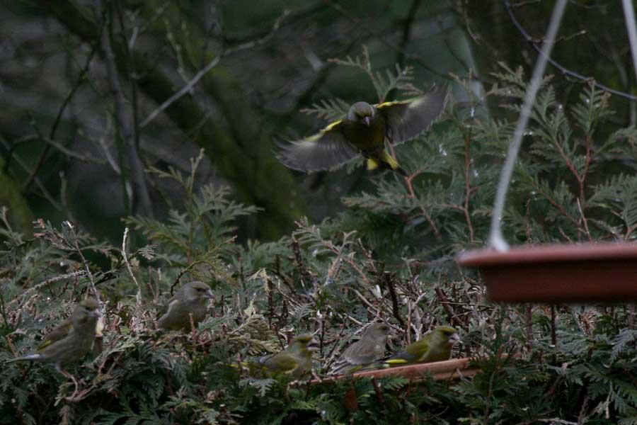 Grünfinken bei Werl am 29.03.2009 Foto: Martin Wenner