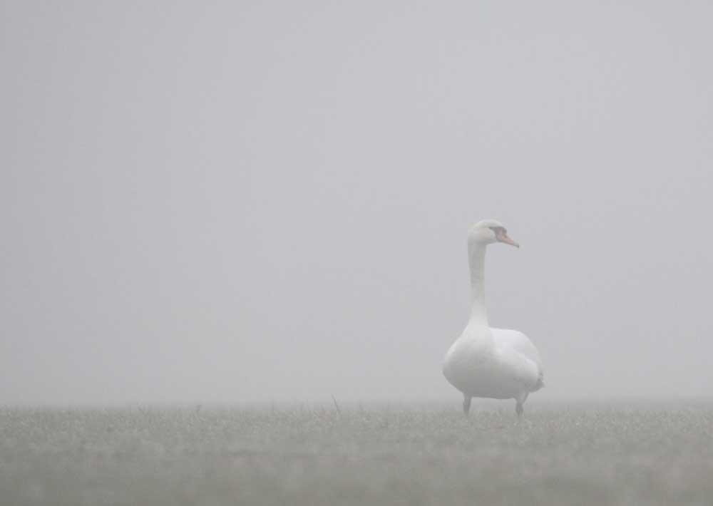 Im Nebel (notgelandeter?) Höckerschwan bei Bausenhagen, 31.12.09 Foto: Bernhard Glüer