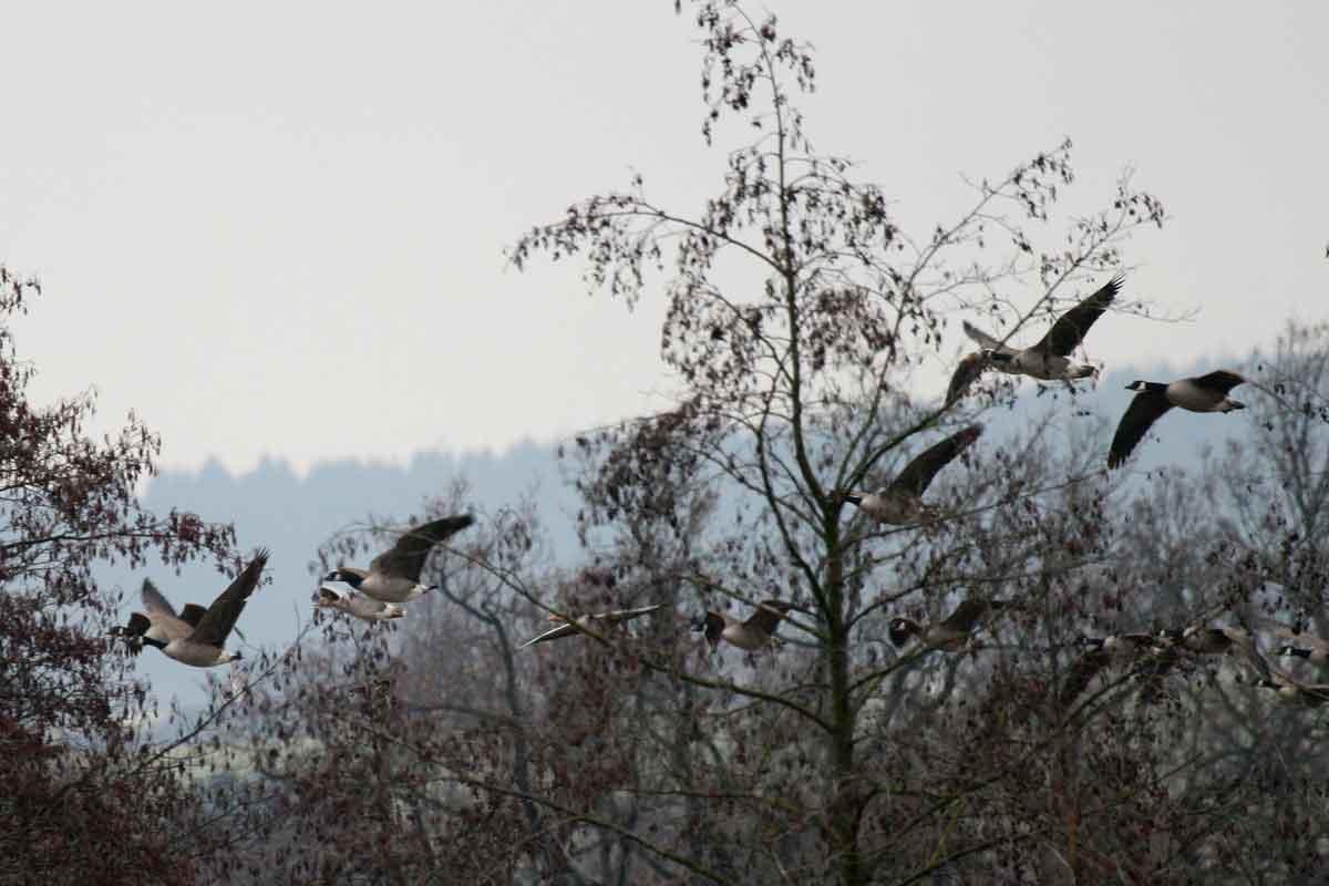 Kanada- und Graugänse im NSG Obergraben westlich Wickede bei Warmen am 17.02.2009 Foto: Martin Wenner